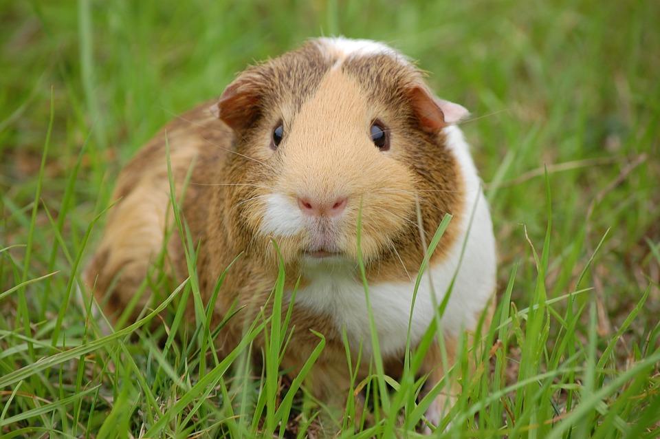 Guinea Pig, Cavy, Pet, Guinea, Rodent, Mammal, Animal
