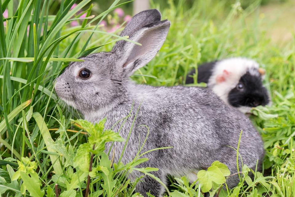 Rabbit, Guinea Pig, Pet, Nager, Animal, Cute
