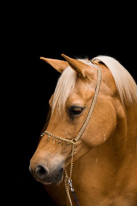 Horse, Portrait, Mare, Halter, Animal