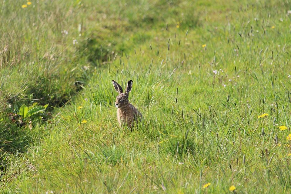 Hare, Grass, Spring, Meadow, Wildlife, Animal