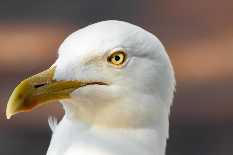 Seagull, Bird, Animal, Head