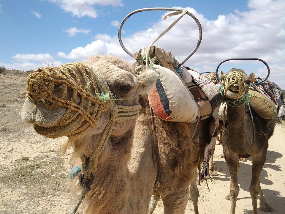 Camel, Head, Tunisia, Animal