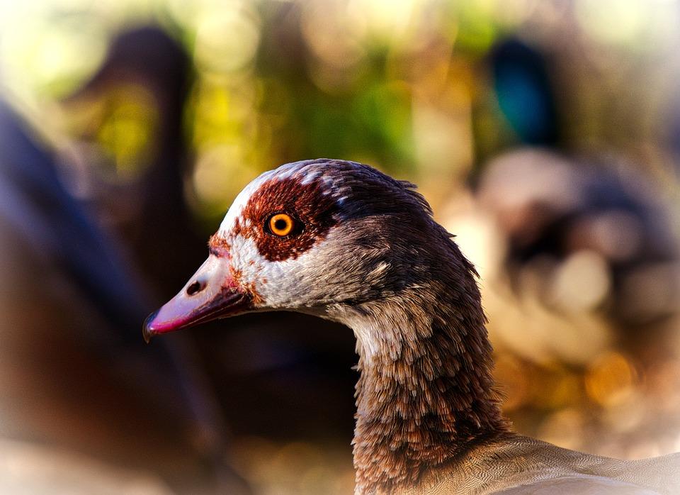 Duck, Head, Animal, Water Bird, Mallard, Duck Bird