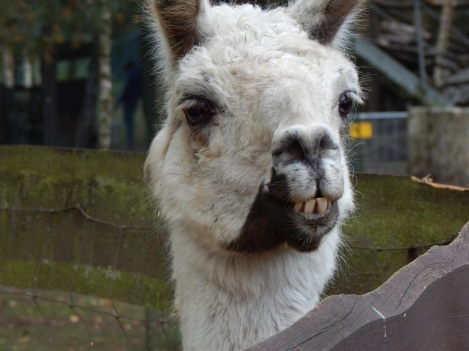 Lama, Animal, Head