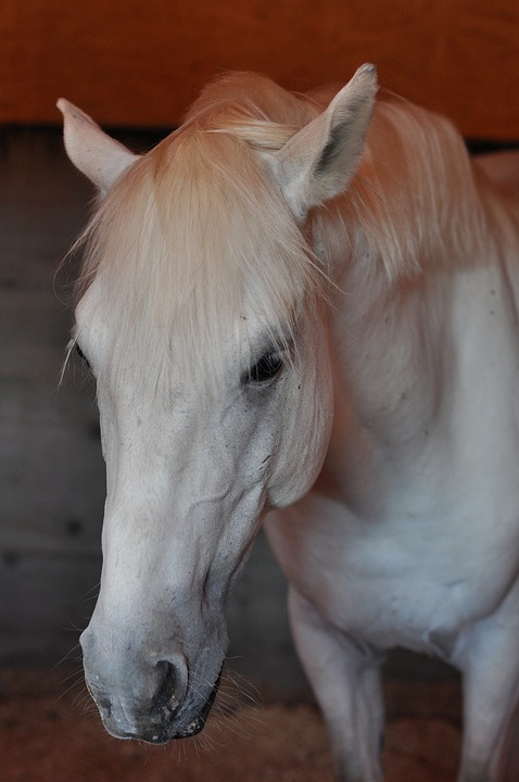 Horse, Stable, Head, Wild Horse, Animal, Riding, White