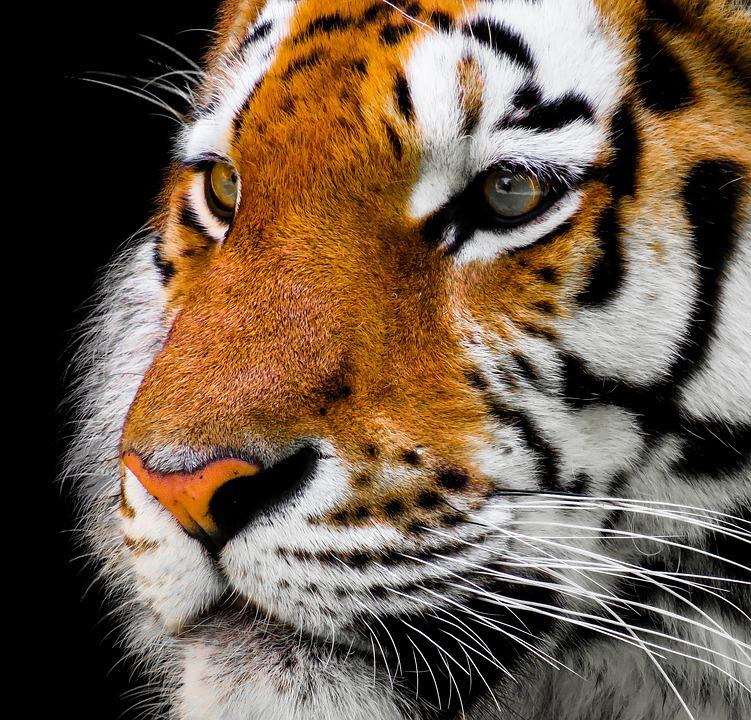 Tiger, Head, Face, Feline, Wild Cat, Big Cat, Animal