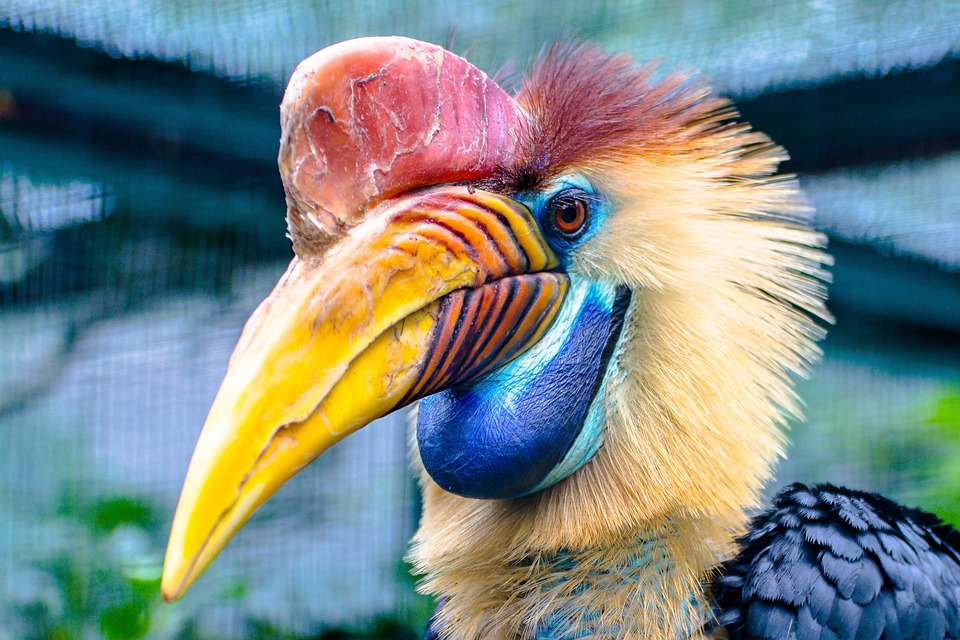 Animal, Bird, Hornbill, Helmet Hornbill
