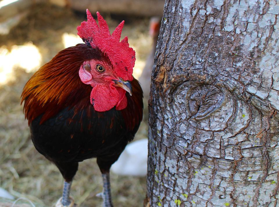 Chicken, Bird, Animal, Farm, Rooster, Hen, Poultry