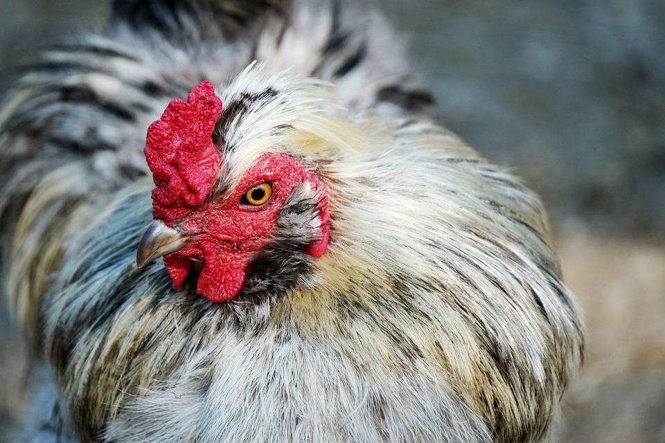 Chicken, Bird, Hen, Mr, Poultry, Plumage, Animal
