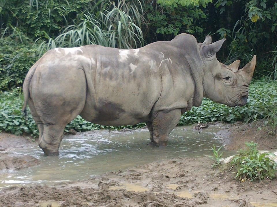 Rhinoceros, Animal, Africa, Horn, Huge, Mammal