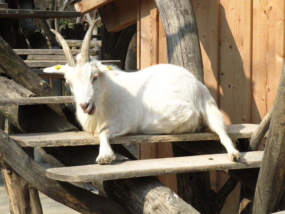 Goat, Zoo, Animal, White, Animals, Animal World, Horned