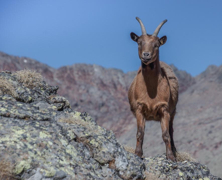 Capra, Mountain, Alps, Animal, Horns, Mammal, Nature