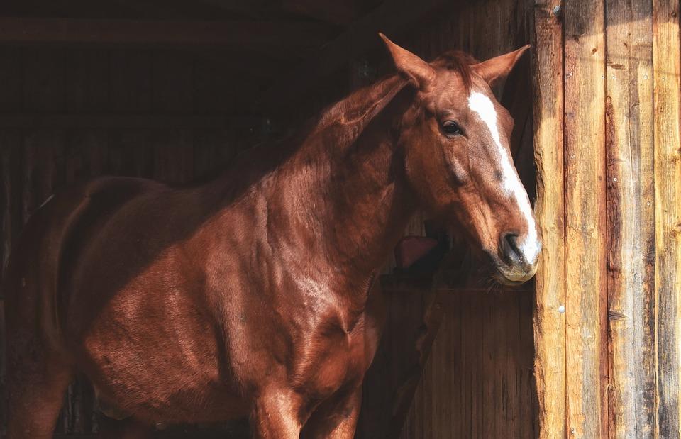 Horse, Stallion, Brown, Animal, Ride, Rural