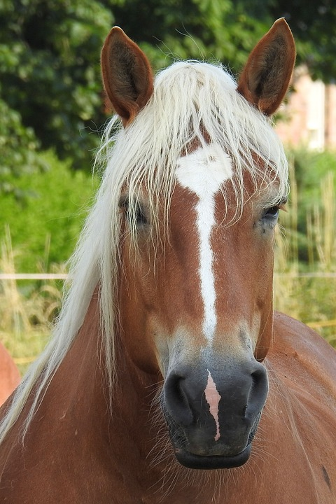 Horse, Horse Head, Pferdeportrait, Animal, Brown, Mane