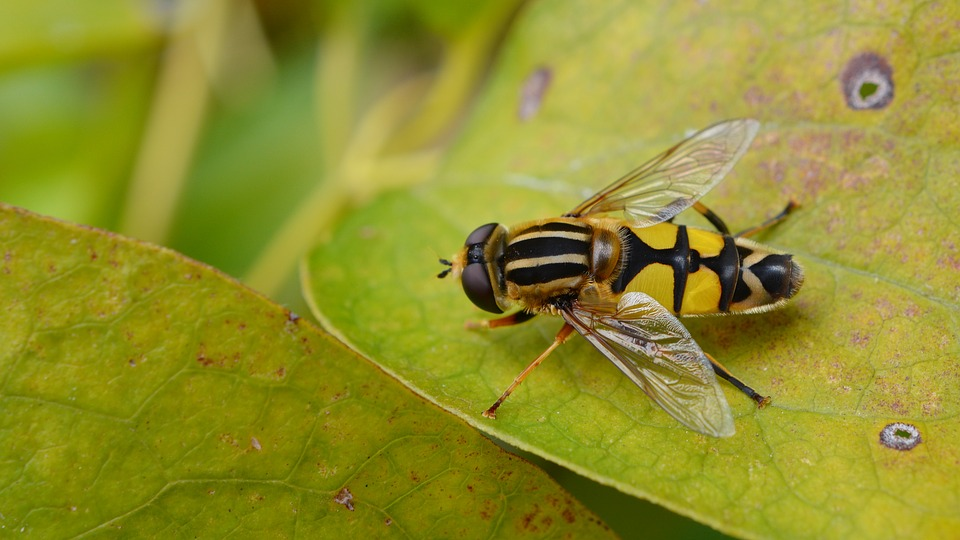 Fly, Hoverfly, Nature, Insect, Animal, Yellow, Garden