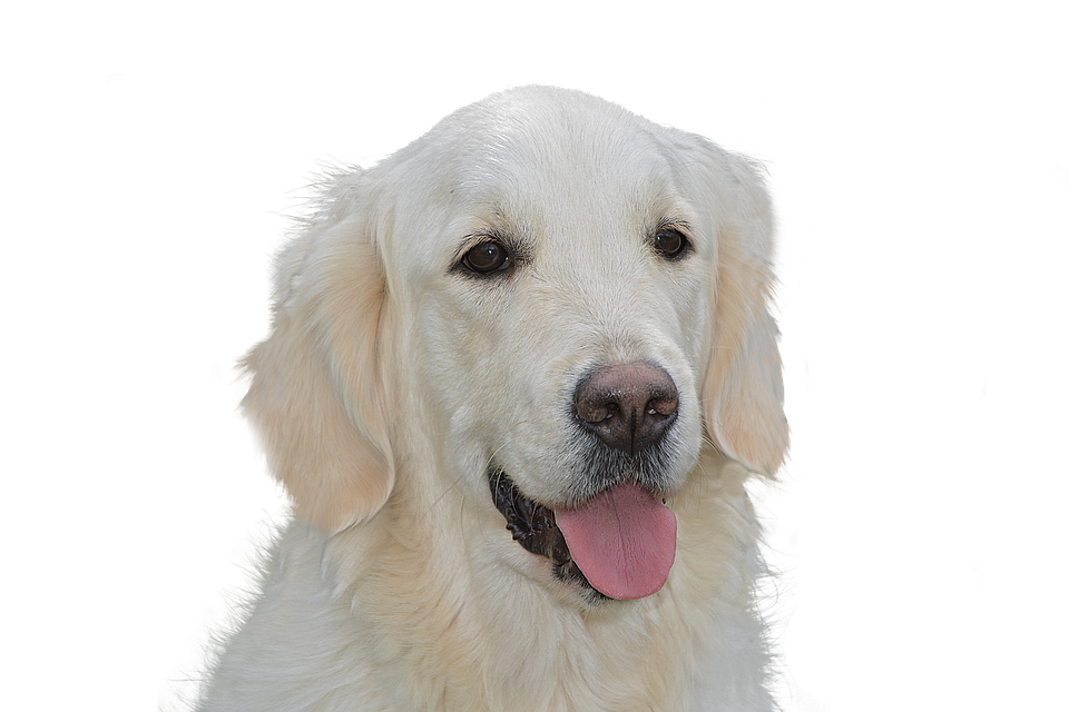 Dog Free, Golden Retriever, Pet, Hundeportrait, Animal