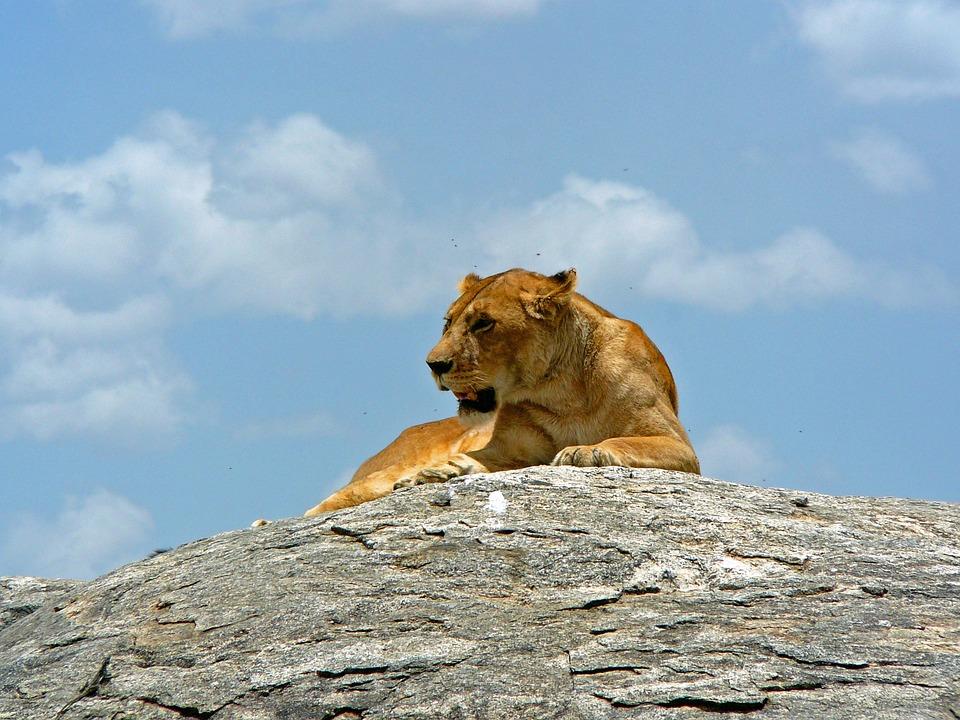 Lioness, Hunting, Animal, Wild, Africa, Tanzania