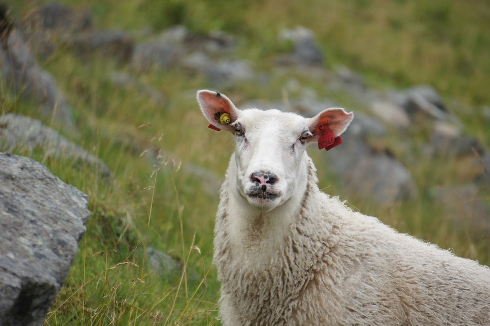 Sheep, Norway, Animal Husbandry, Wool