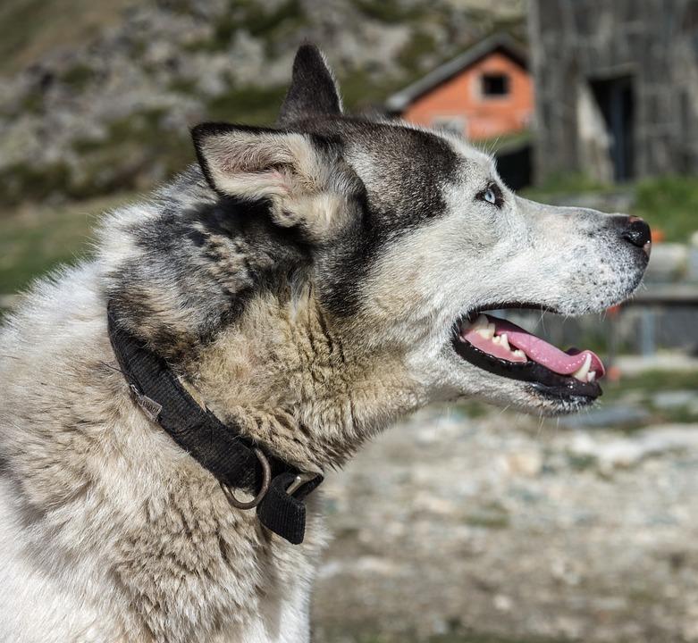 Dog, Huskey, Pet, Animal, Husky, Domestic, Young