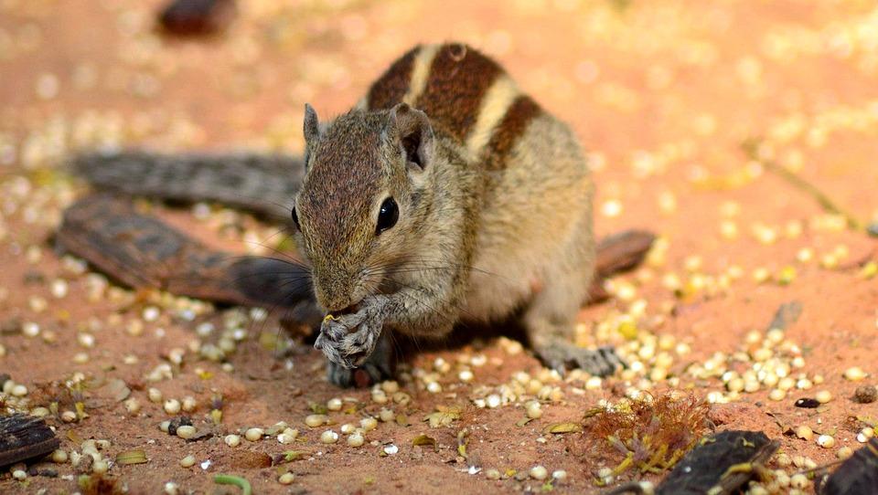 Squirrel, Animal, Indian Animal