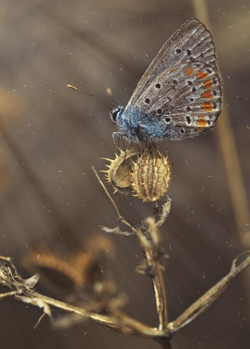 Common Blue Butterfly, Butterfly, Insect, Animal, Plant