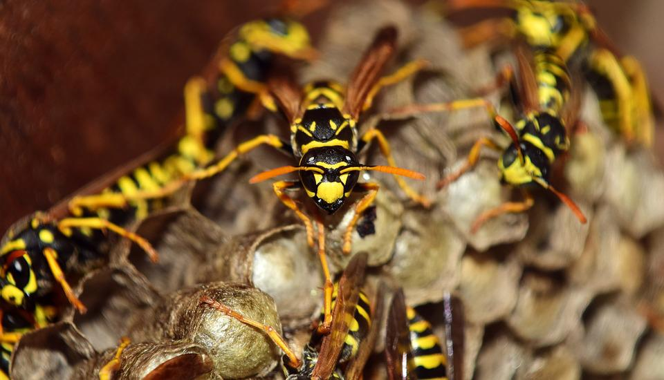 Wasps, The Hive, Combs, Nest, Animal, Sting, Insect