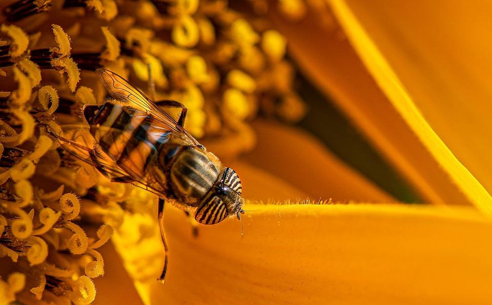 Eristalinus, Insects, Orange, Nature, Animal, Macro
