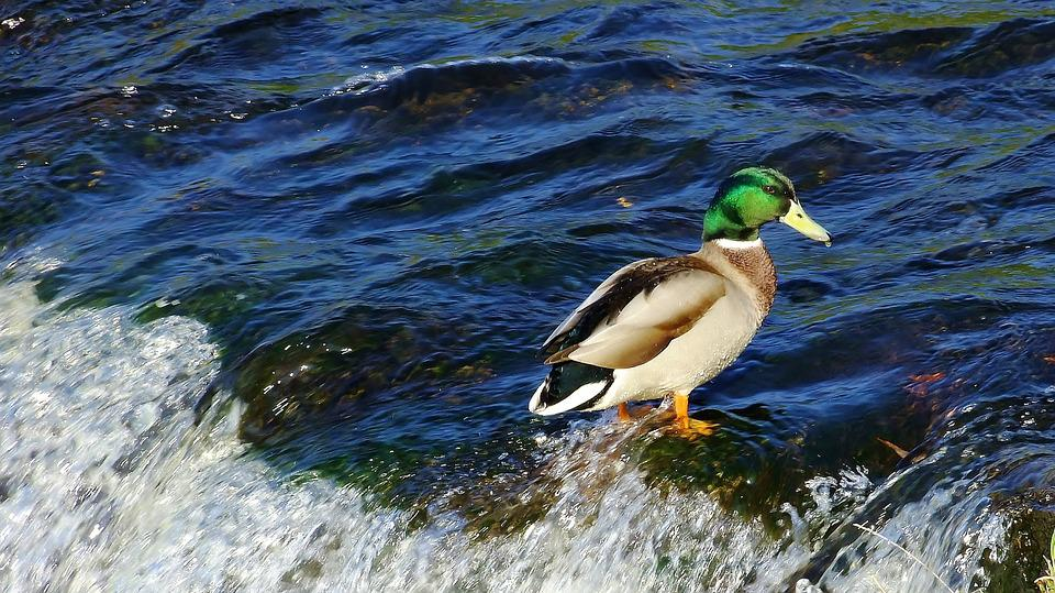 Káčer, Duck, Bird, Animal