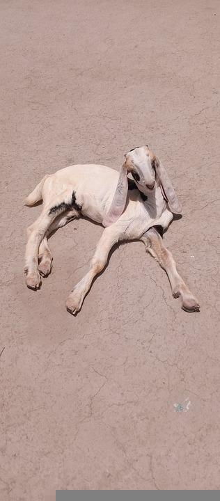 Goat, Kid, Animal, Farm, Livestock, Sale, Goat Male