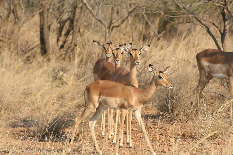 Wildlife, Nature, Animal Kingdom, Antelope, Mammals