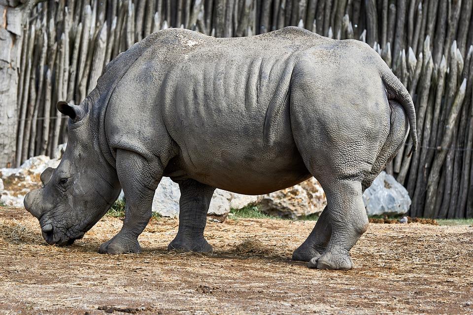 Mammals, Rhinos, Wildlife, Animal Kingdom, Nature