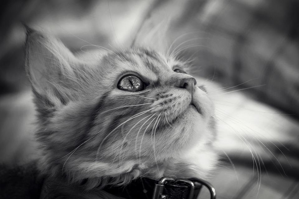 Cat, Animal, Cute, Portrait, Kitten