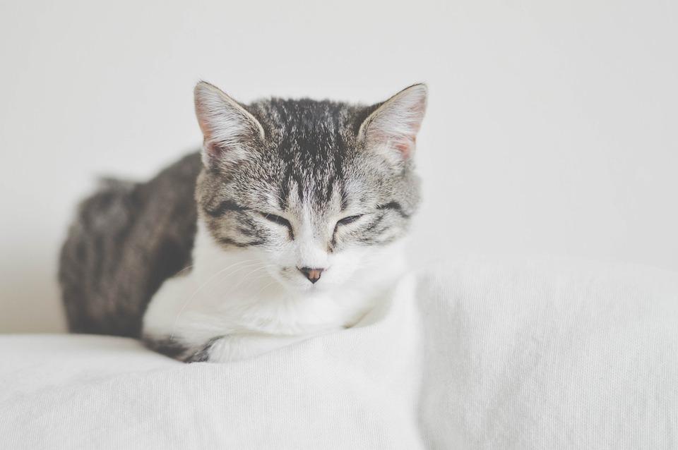 Animal, Cat, Domestic, Eye, Sleepy, Grey, Kitten