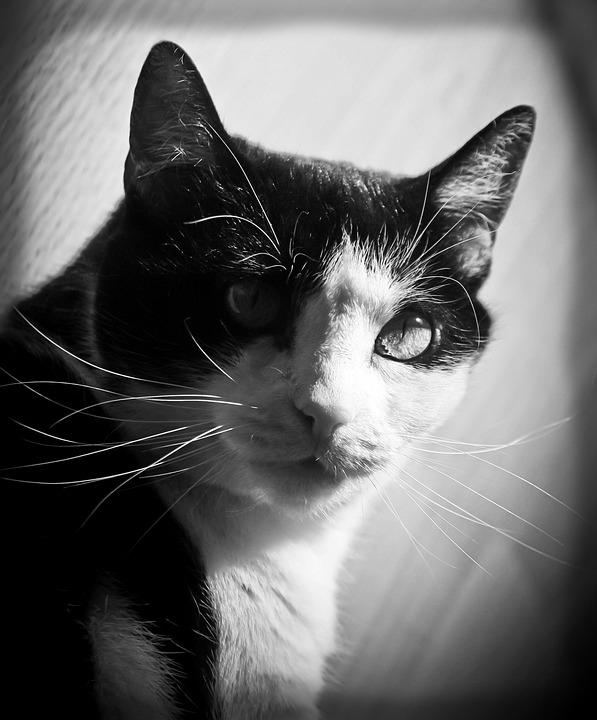 Cat, Feline, Kitty, Animal, Pet, Domestic, Fur, Black