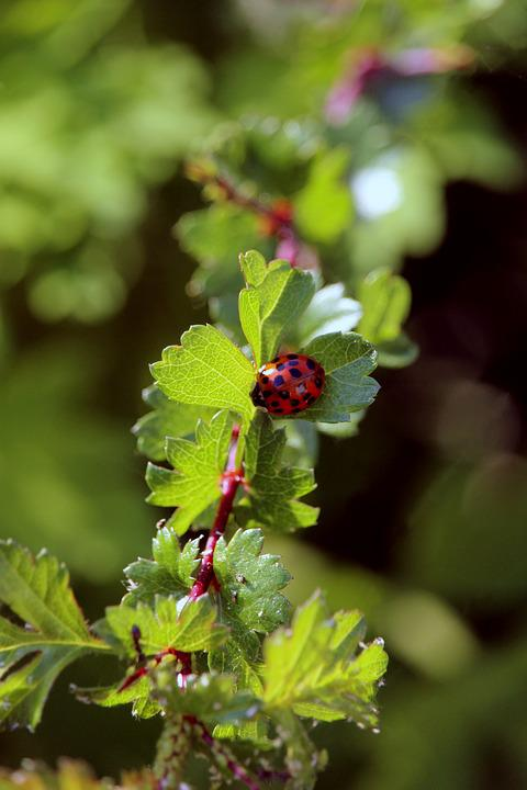 Ladybug, Animal, Insect, Nature, Beetle, Red, Summer