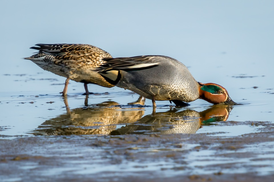 Bird, Wildlife, Nature, Animal, Lake, Teal, Duck