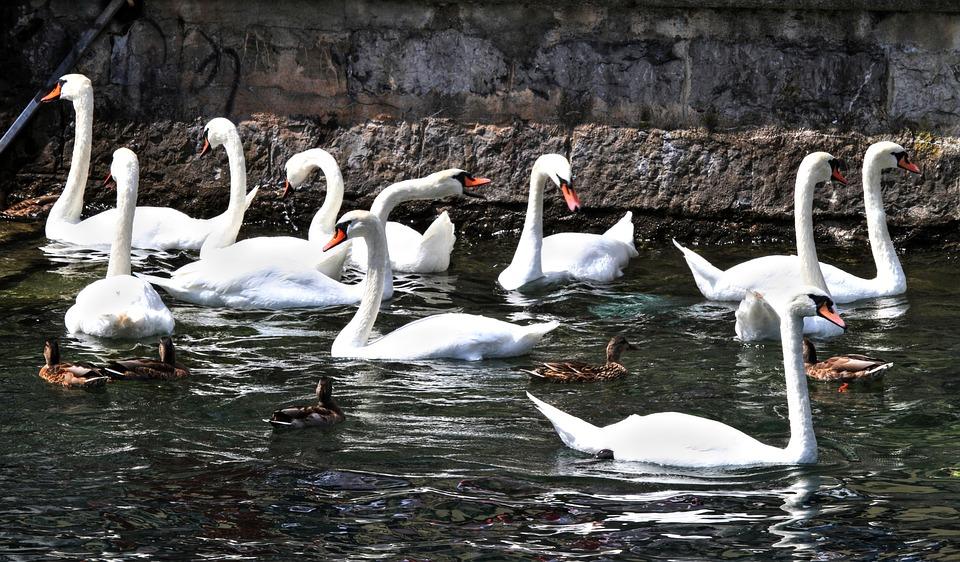 Swans, Swan, Animal, Water, Waters, Lake, Nature, Bird