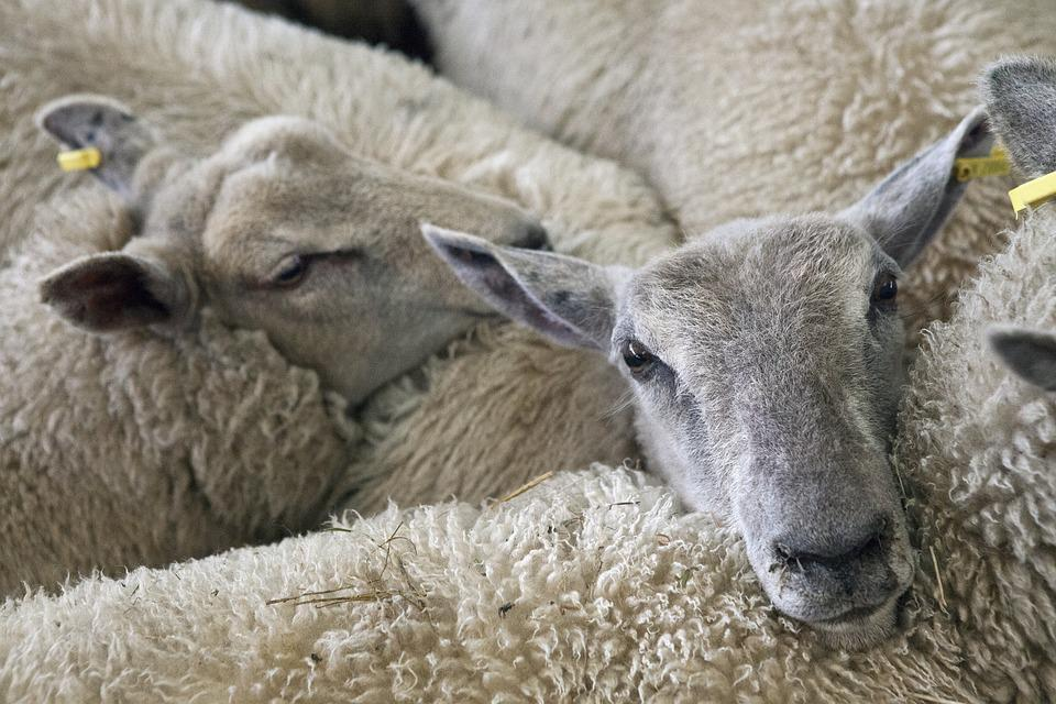 Sheep, Lambs, Farm, Animal, Agriculture, Livestock