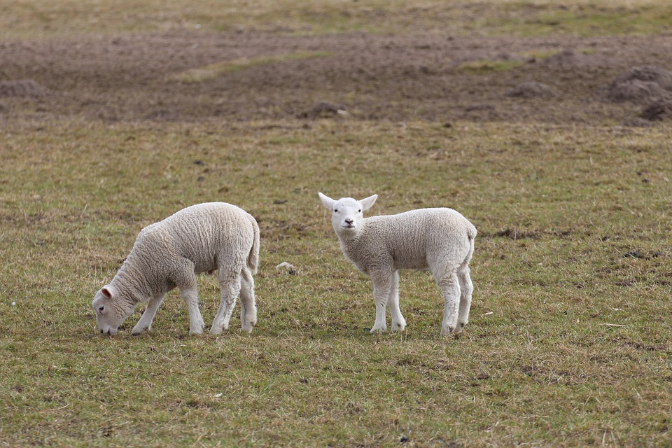 Lambs, Lamb, Schäfchen, Sheep, Animal, Animal World