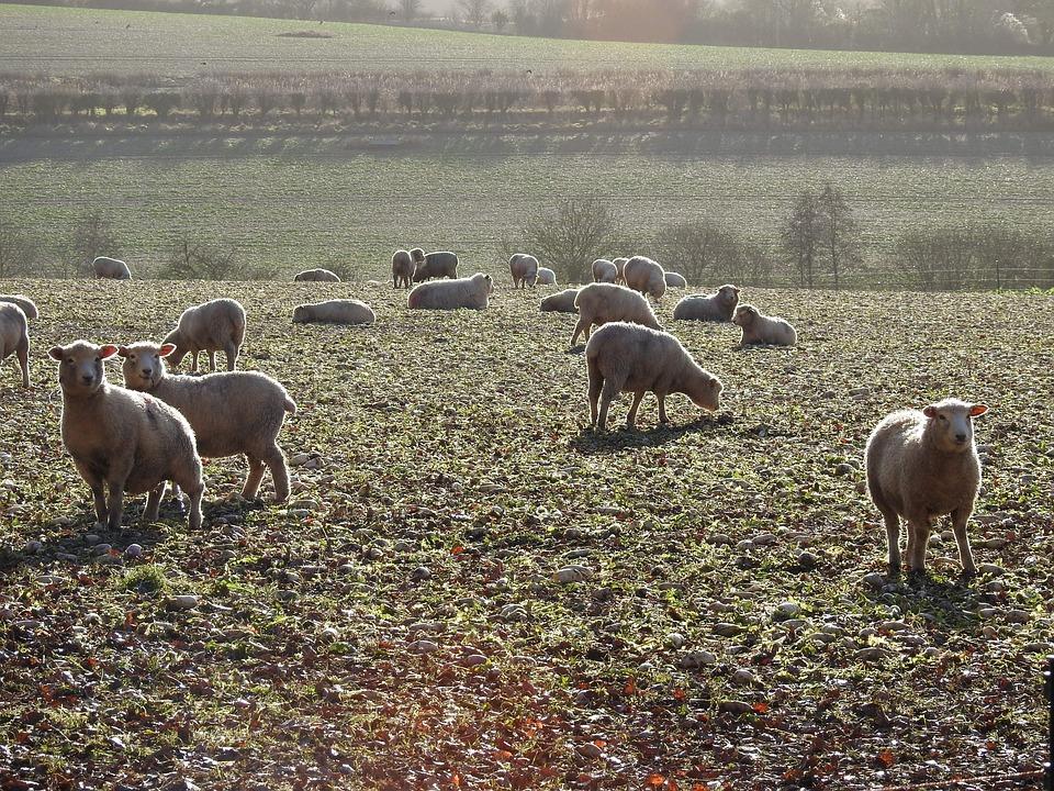 Sheep, Frost, Nature, Landscape, Animal