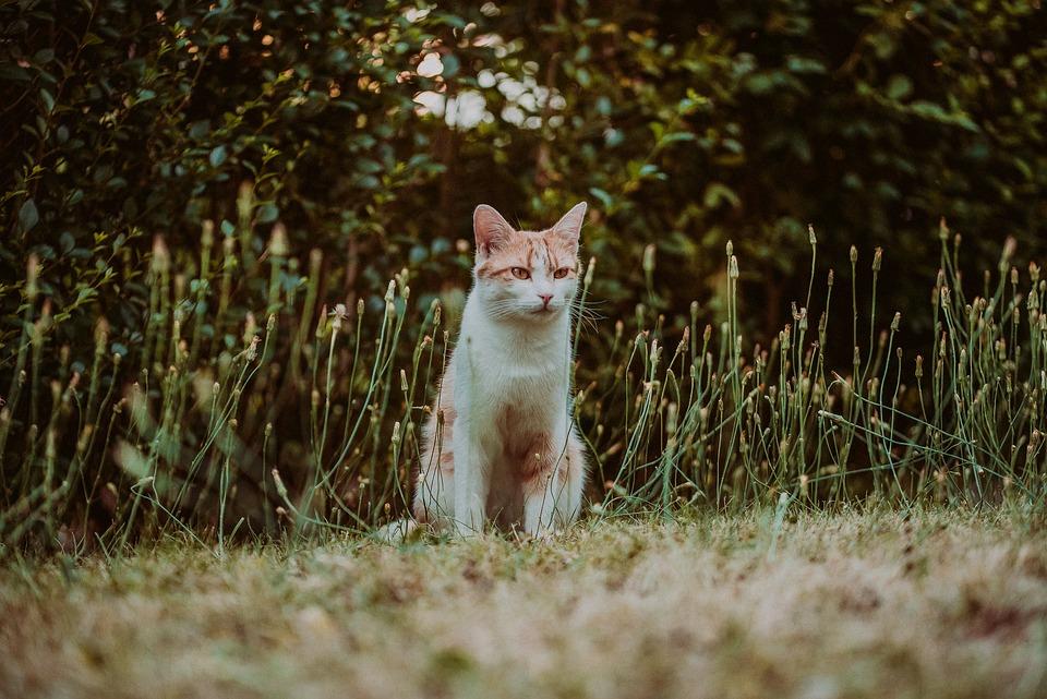 Cat, Red Tomcat, Cry, Laugh, Scream, Animal, Pet