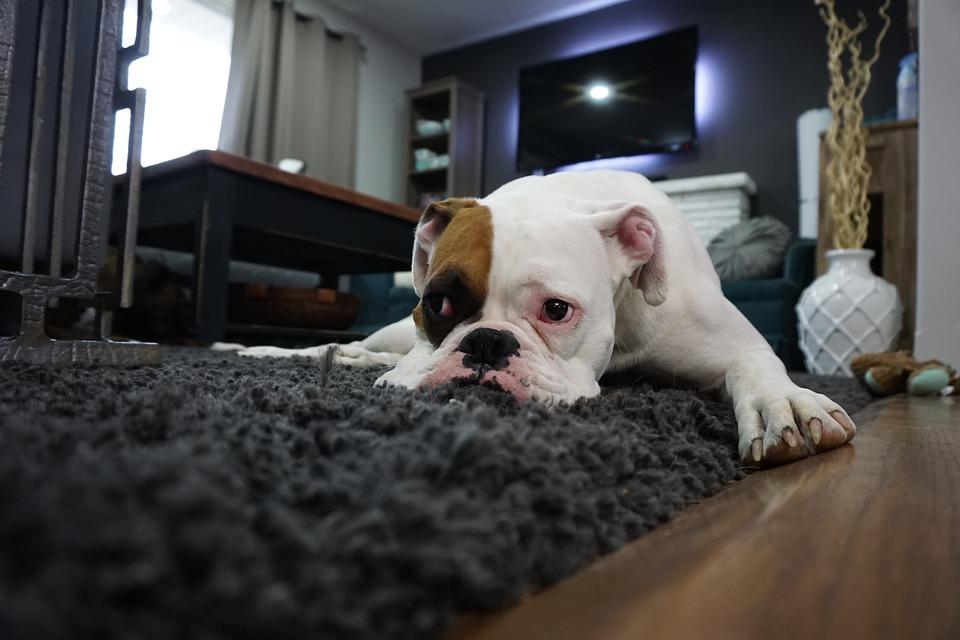 Boxer, Dog, Lazy, Animal, Boxer Dog, Canine, Home, Pet