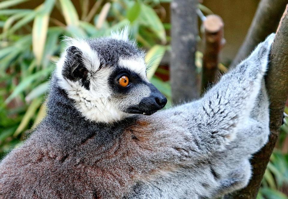 Lemur, Animal, Lemur Catta, Primate, Monkey, Madagascar