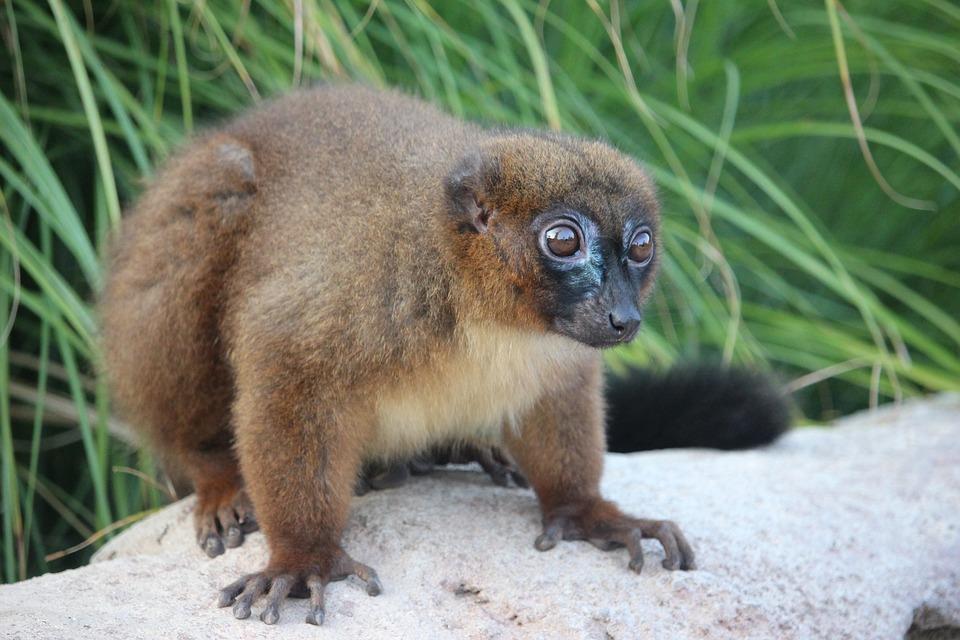 Lemure, Zoo, Safari, Zoom, Torino, Madagascar, Animal