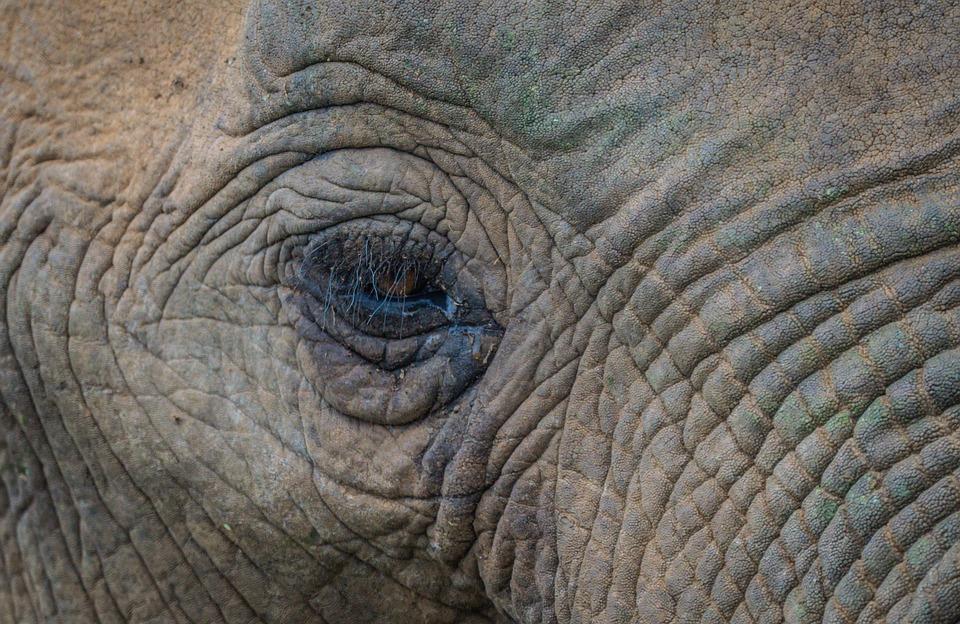 Elephant, Mammal, Africa, Safari, Animal Life