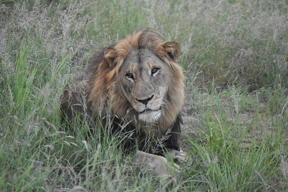 Lion, Safari, Africa, Wildlife, Animal, Predator, Cat