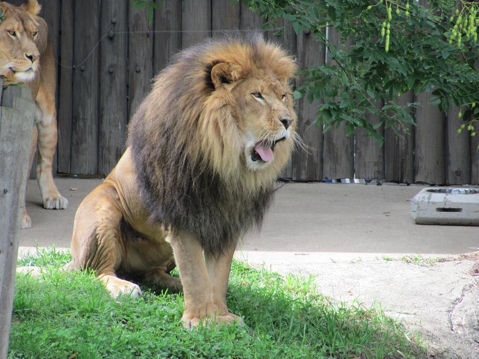 Lion, Animal, Mammal, Wildlife, Carnivore, Male, Jungle