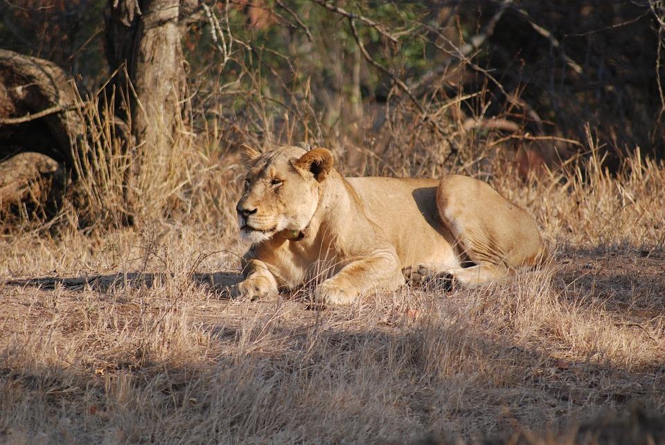 Lioness, Lion, Wildlife, Animal, Cat, Female, Predator