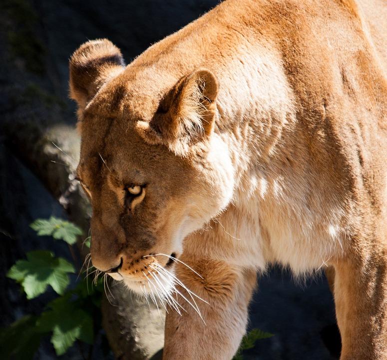 Lion, Lioness, Female, Mammal, Predator, Animal
