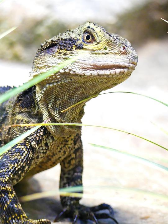 Lizard, Bearded Dragon, Reptile, Animal, Agame